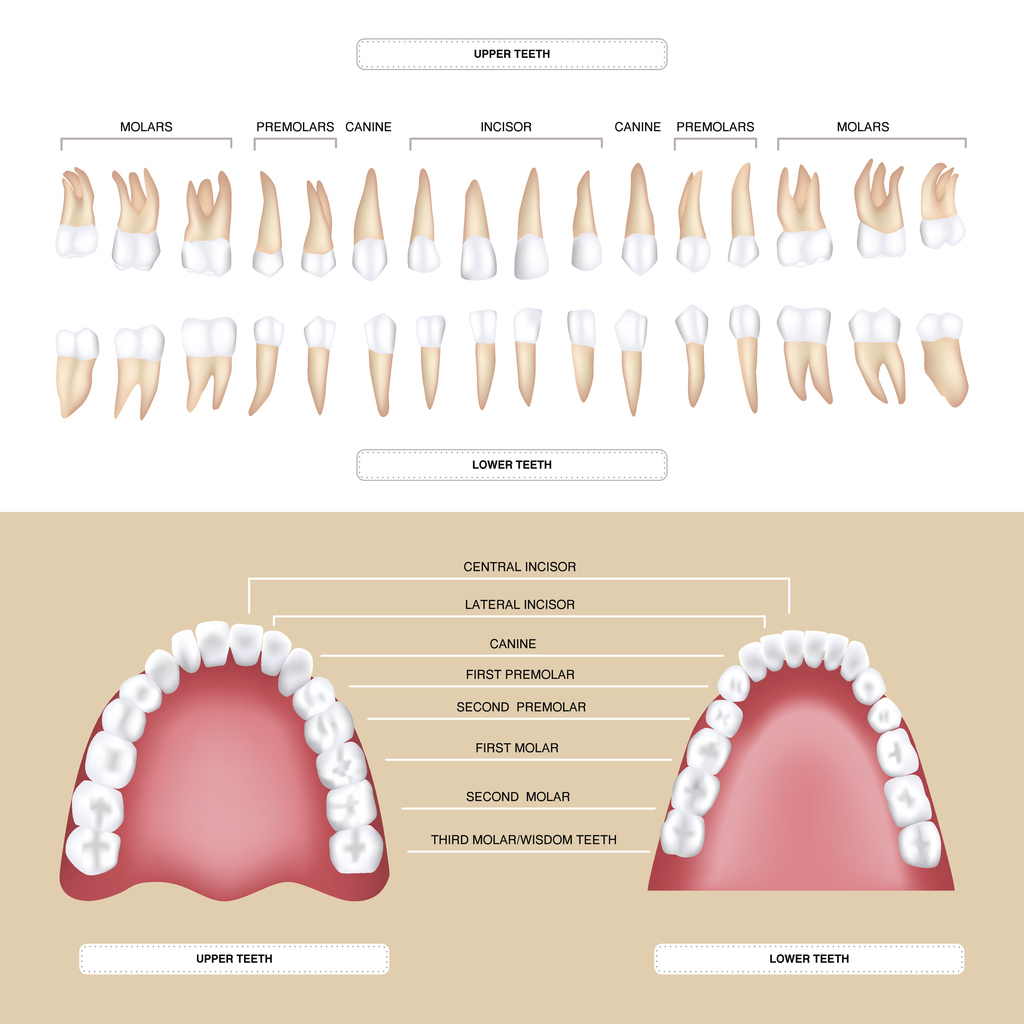 human dental anatomy permanent tooth